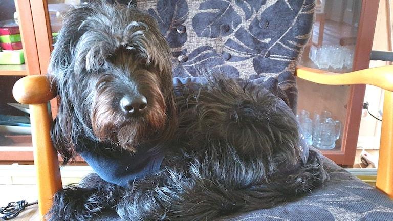 En hund som sitter i en gungstol.