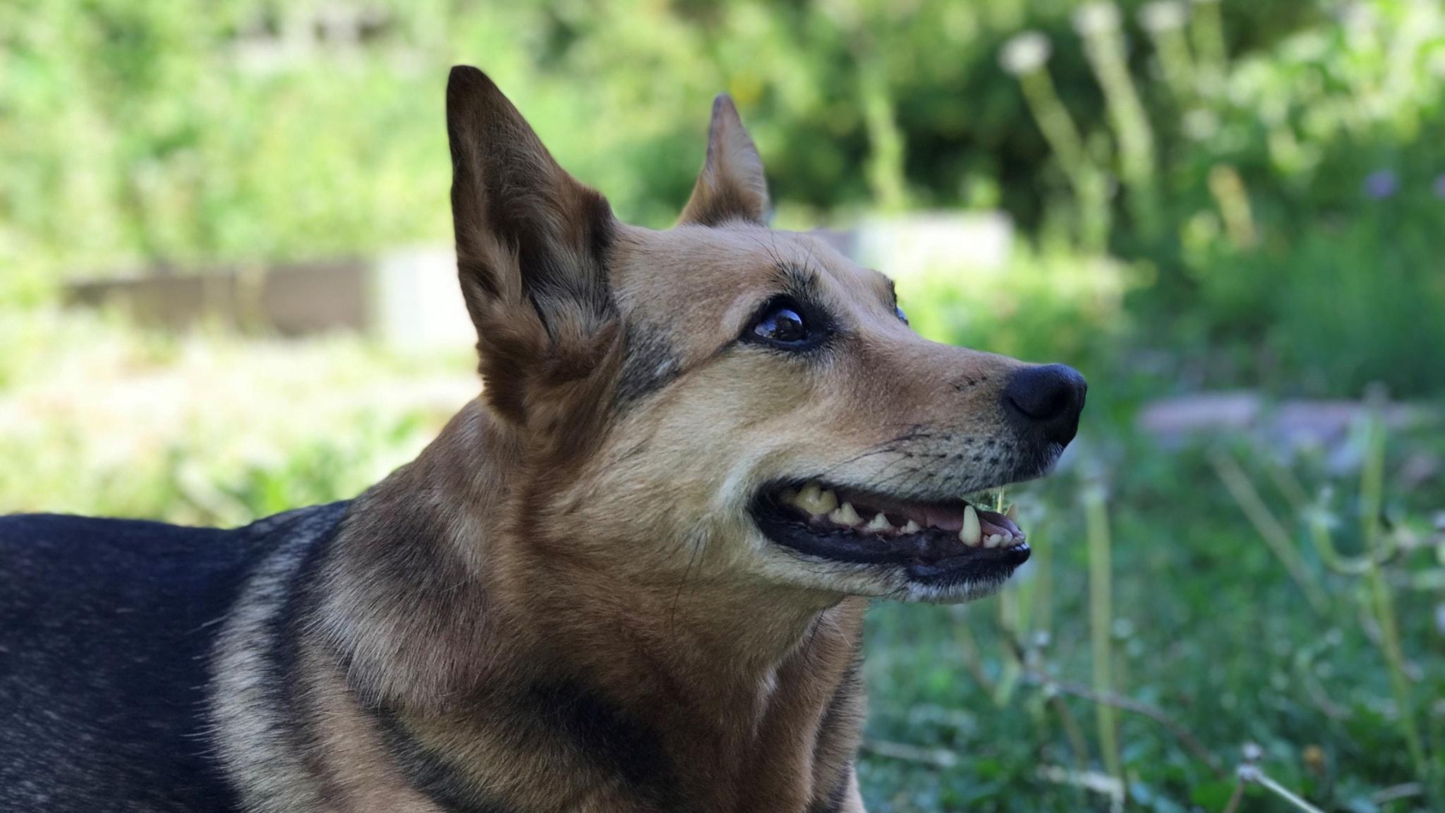 Koiran Sterilisaatio
