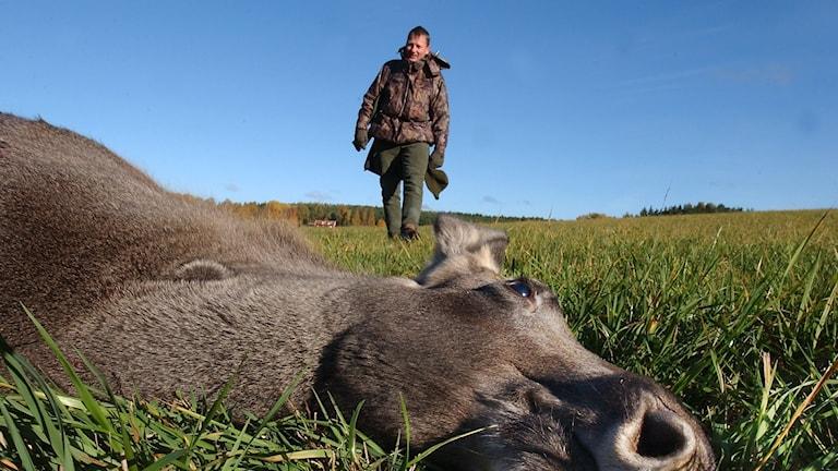 En älg liggande på marken och en jägare