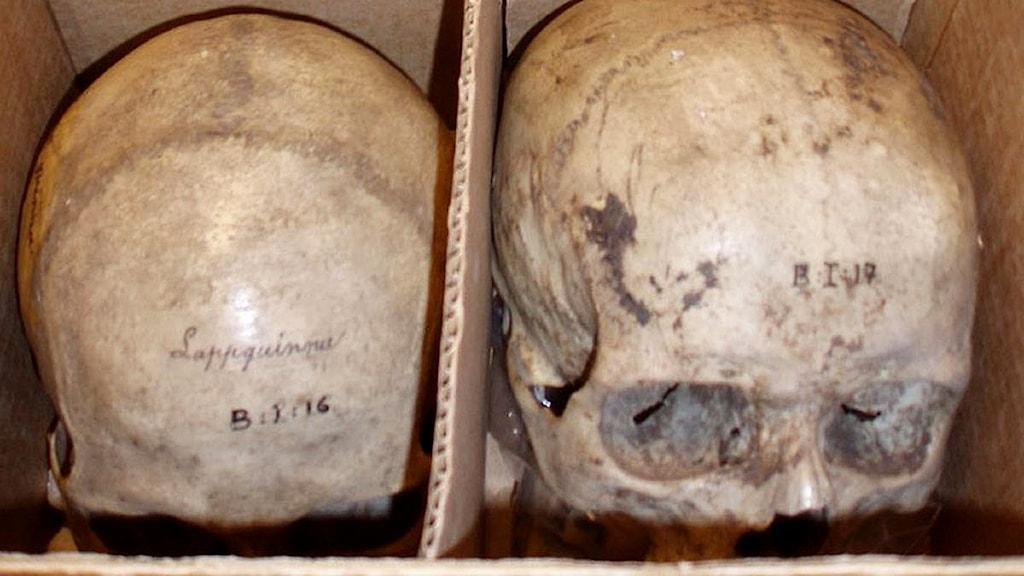 Samiska kranier i förvar på Lunds universitet.
