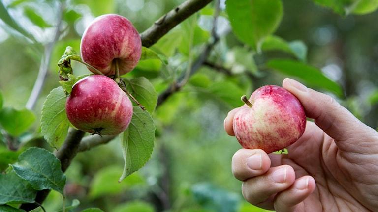 Omenapuu.