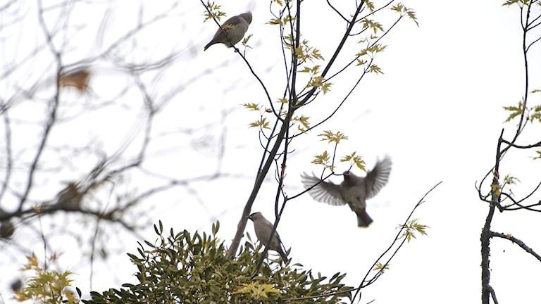 Fåglar och mistlar