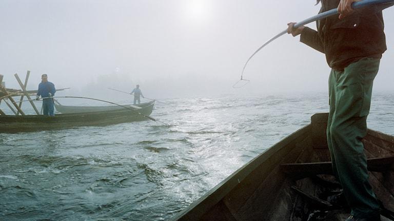 Tre forsfiskare står upp i sina båtar. De fiskar i den dimmiga Torneälven.