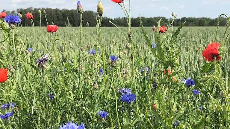 Fält med blåklint och vallmo i förgrunden