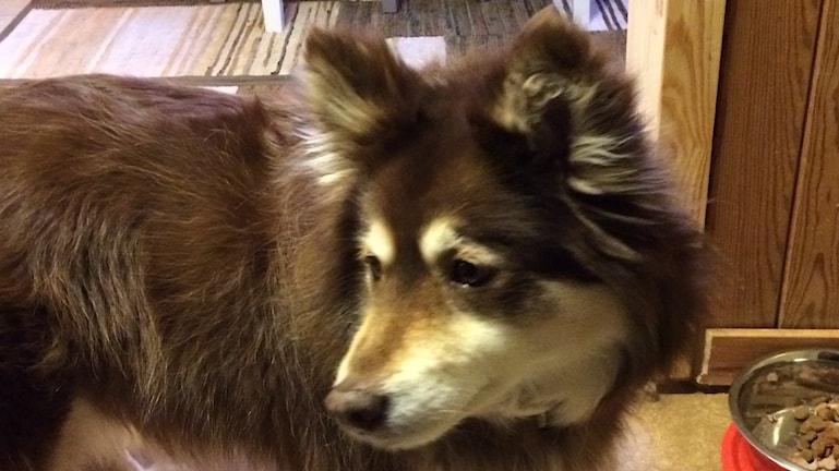 Suomalainen lapinkoira Lycka katsoo taakseen ruokakuppinsa äärellä
