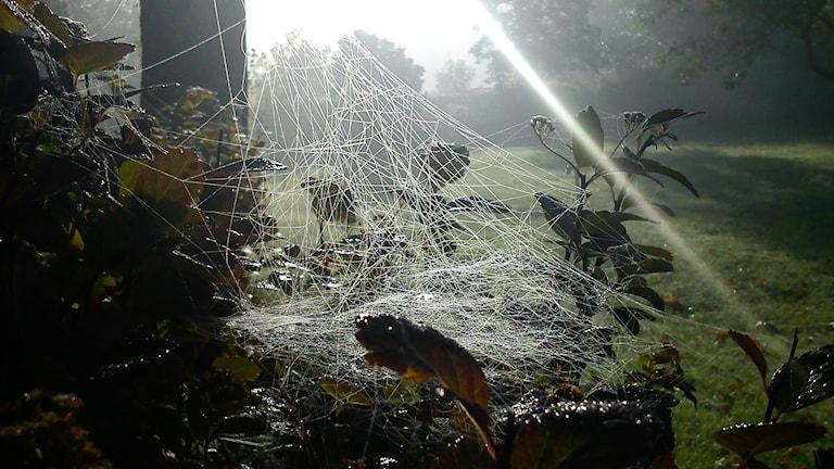 hämähäkinseitti aamu-usvassa