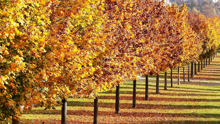 Ruskaisia puita puistossa