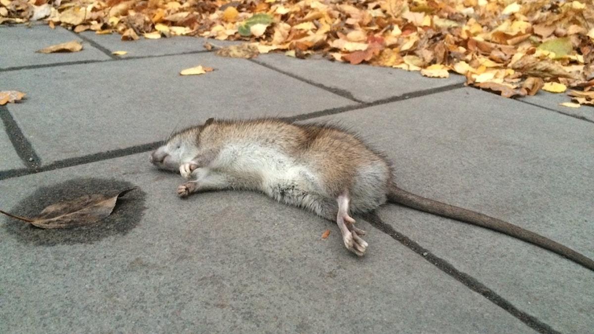 Kuollut rotta lepää Tukholman kadulla.