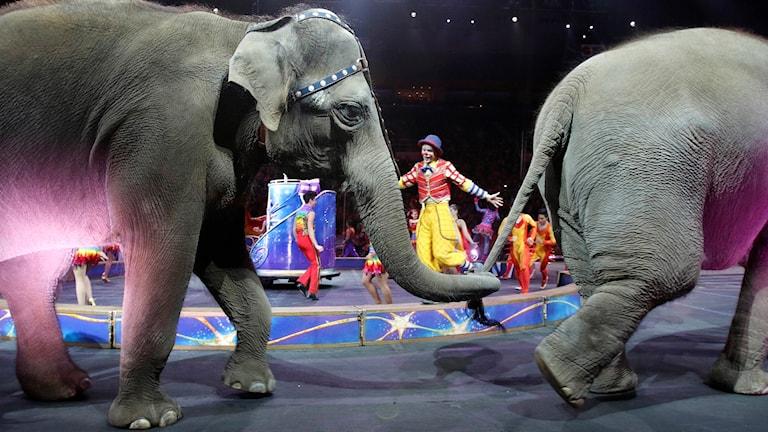 Kuvassa kaksi norsua marssii sirkusareenalla.