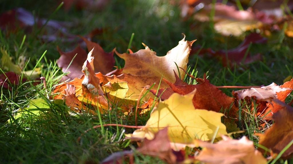 Lönnlöv i nyanser av rött, orange och gult ligger på en grön gräsbädd.