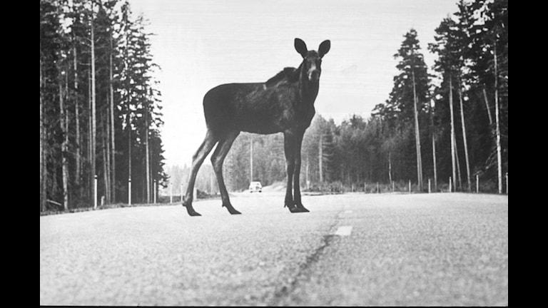 """""""Det är en älg på vägen!"""" Foto: Isabel Eriksson/Sveriges Radio"""