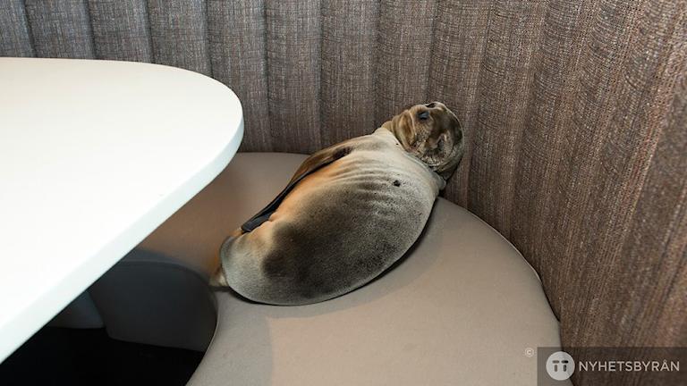 Sjölejonet hittades sovande vid ett av borden inne på restaurangen. Foto: Mike Aguilera/AP