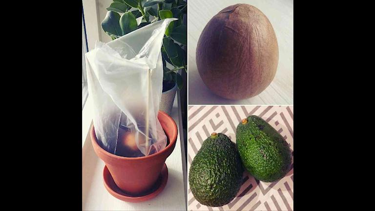 Avokadoporr