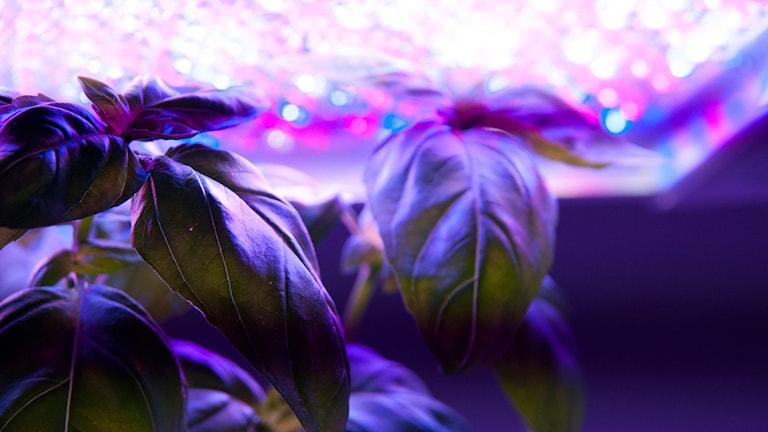 Basil grown under lights.