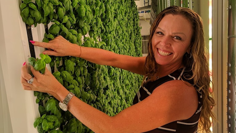 Mia Kleregård, deputy chief executive at Plantagon, inspects her first crop of basil.