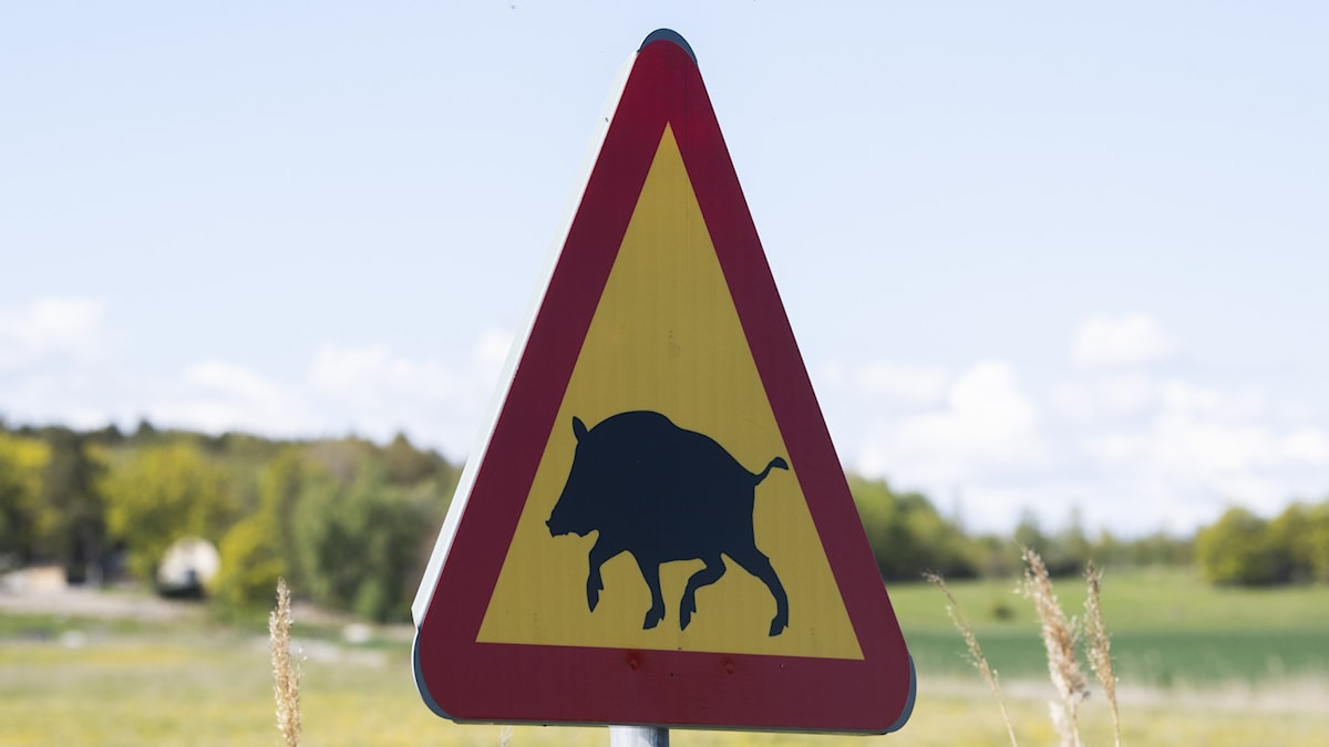 A triangular warning sigh showing a wild boar