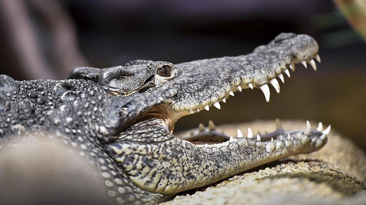 Crocodile with mouth open showing teeth