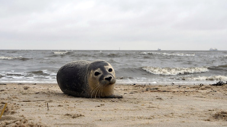 A seal pup lies on the beach