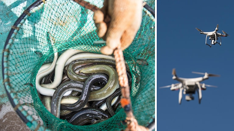 Drones will help locate illegal eels traps in southern Sweden.