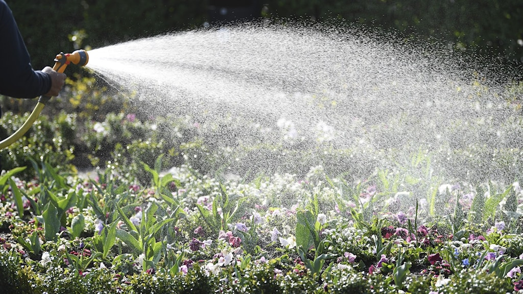 Watering flowers with a hose.