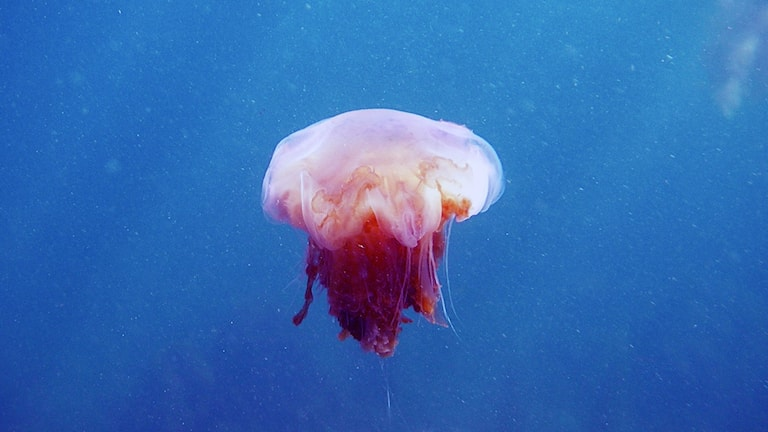 Jellyfish can add a sting to summertime swimming - Radio