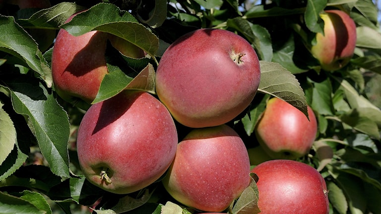 The Folke apple, one of four new varieties developed in Sweden. Photo: Sveriges Lantbruksuniversitet.