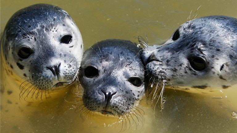 Harbour seals. Photo: AP Photo/Heribert Proepper