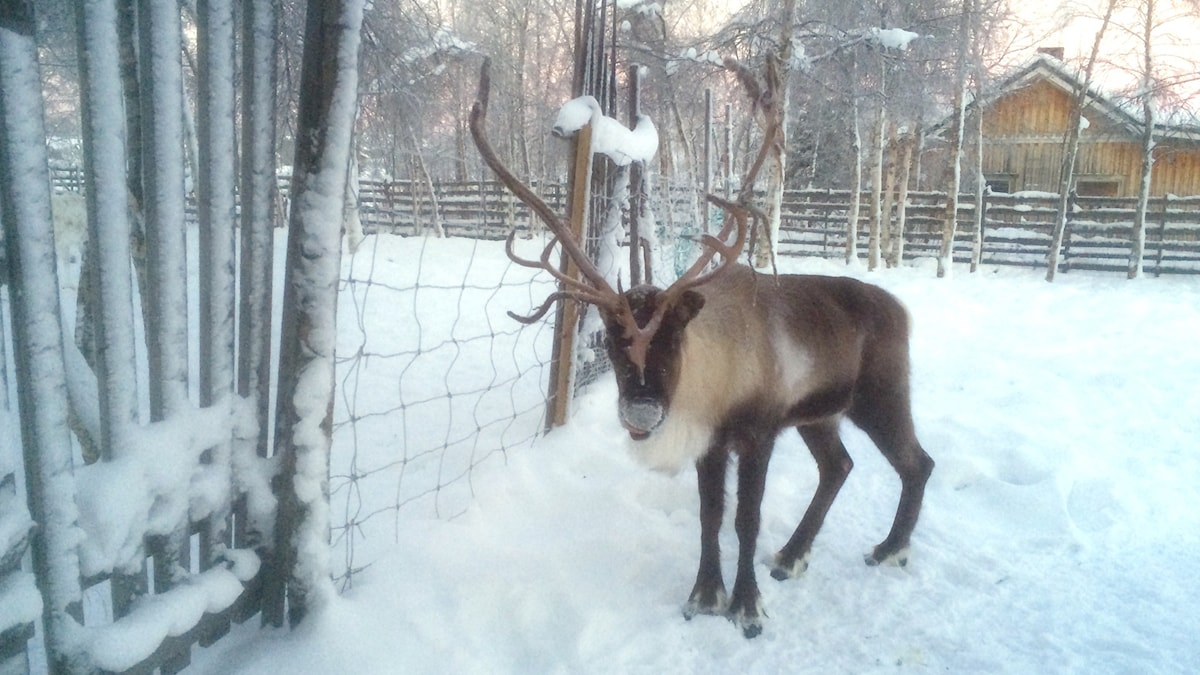 Reindeer at Nutti Sami Siida, just outside Kiruna. Photo: Ryan Tebo / Sveriges Radio.