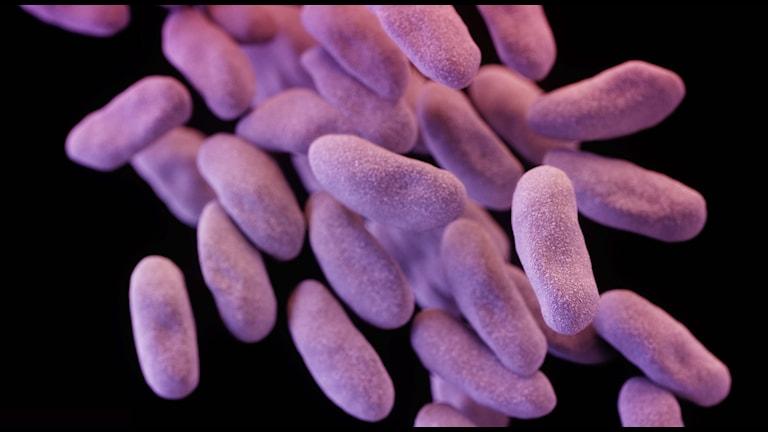 A close-up of a drug resistant superbug. Photo: Melissa Brower/TT
