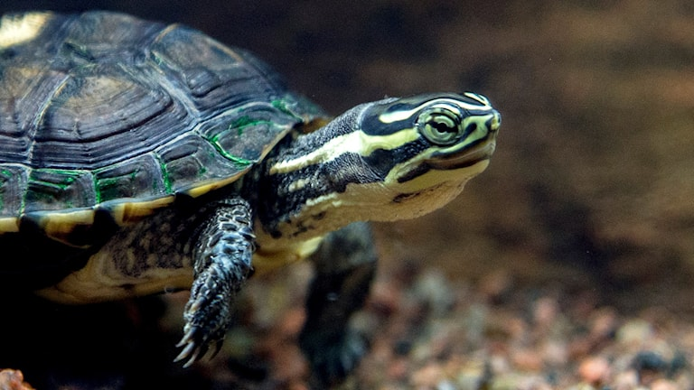 A Vietnamese pond turtle. Photo: Adam Ihse/TT.
