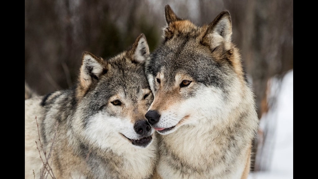 Two wolves.