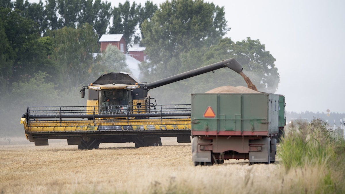 A combine harvester filling up a lorry.