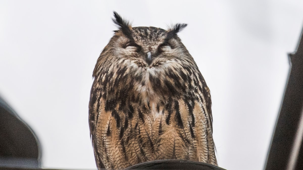 An owl perched on a rooftop.