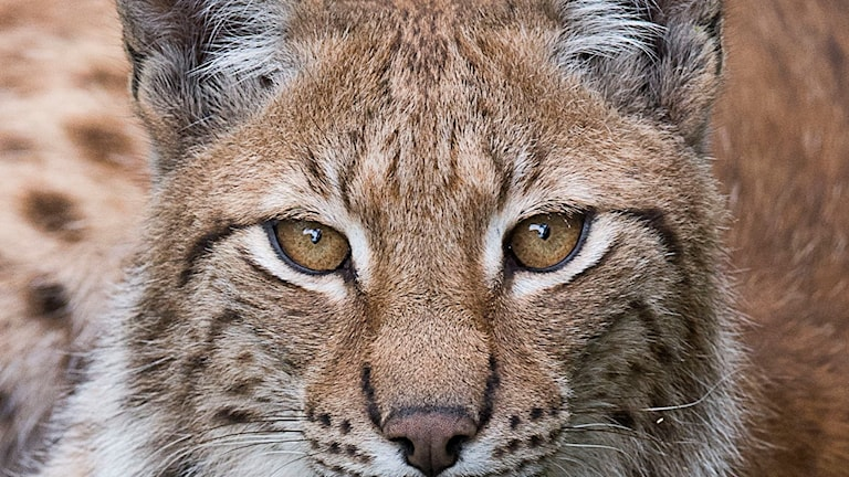 The Lynx UK Trust plans to capture six Swedish lynx.