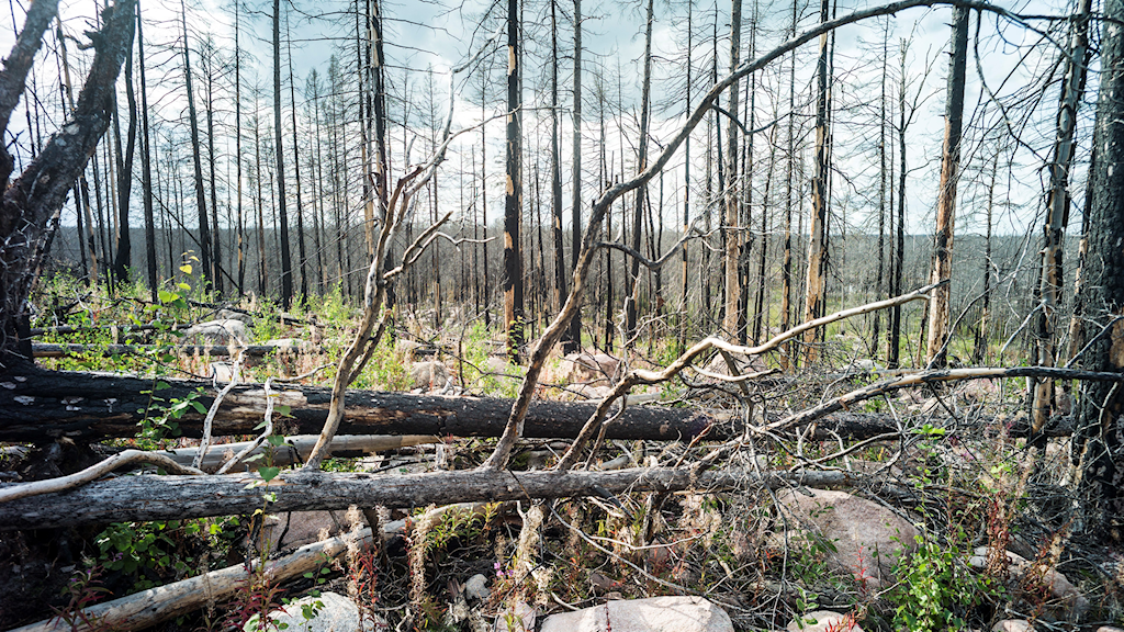 A view of small trees in an area of forest that was burned.