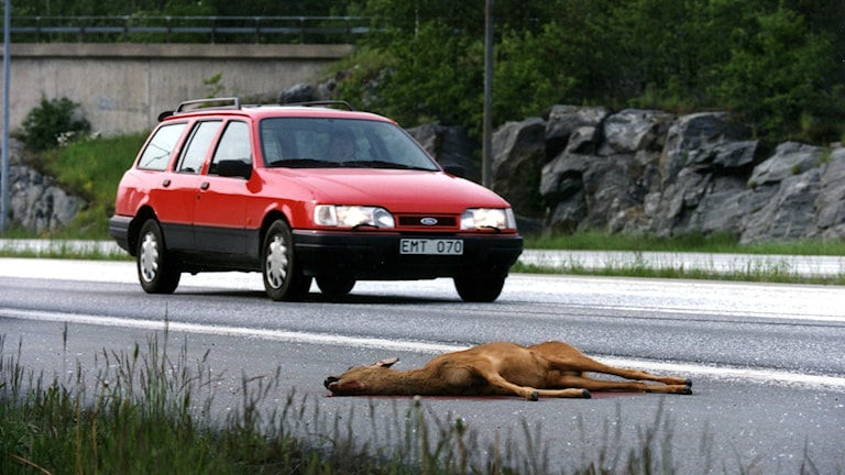 Accidents involving wild animals is always a risk for motorists at this time of year.