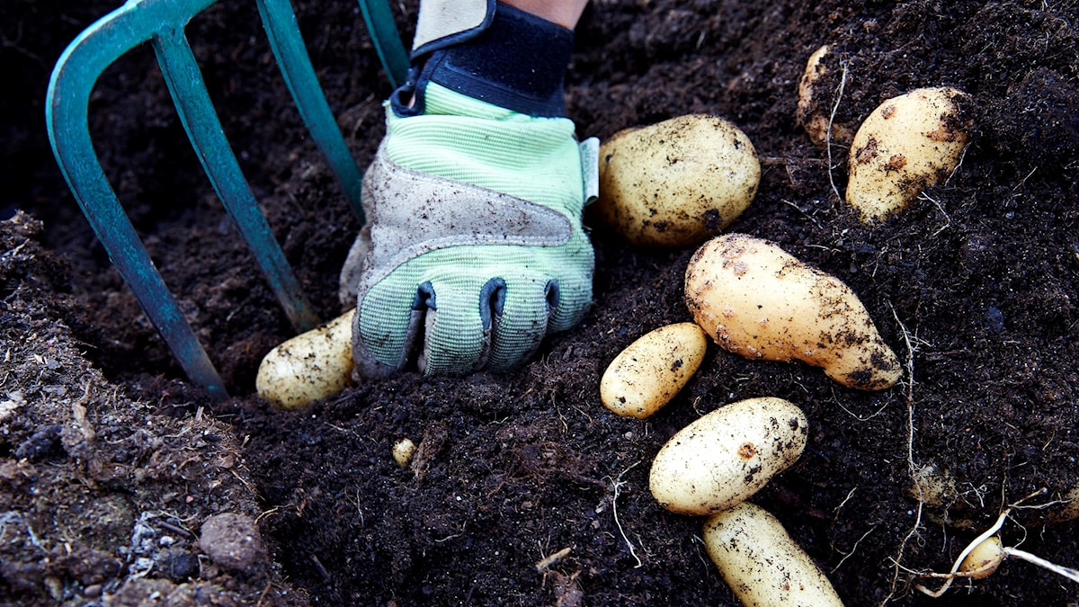 Potatoes in dirt with a pitchfork.
