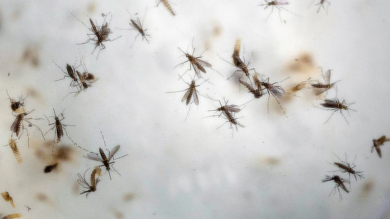 Aedes mosquitoes in a laboratory. File photo: Ricardo Mazalan / AP / TT.