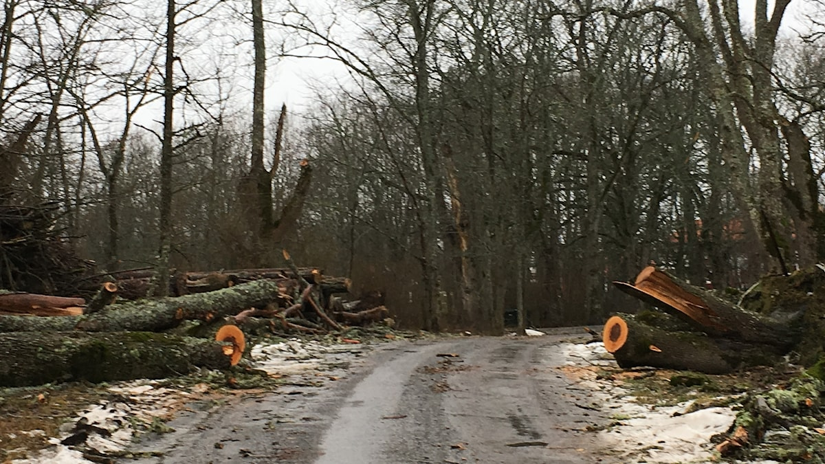 A road where big trees have fallen right over it, now cleared.