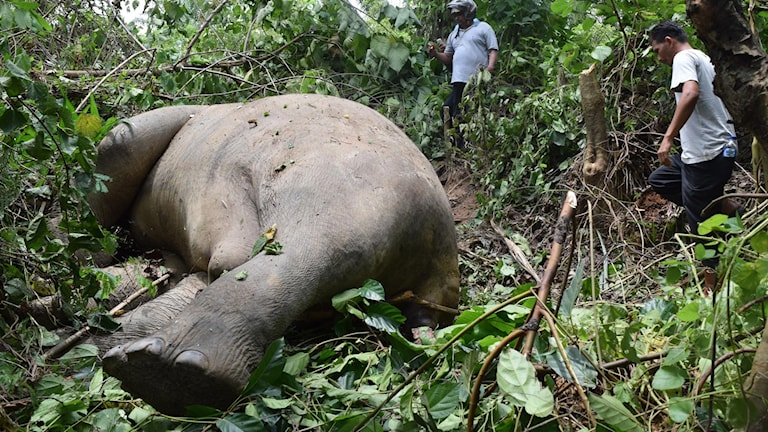 Indonesia's endangered elephants on Sumatra island are threatened by habitat loss and poaching