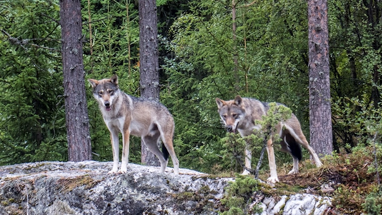 Wolves on a rock.