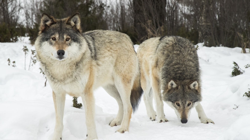 Two wolves in the snow.