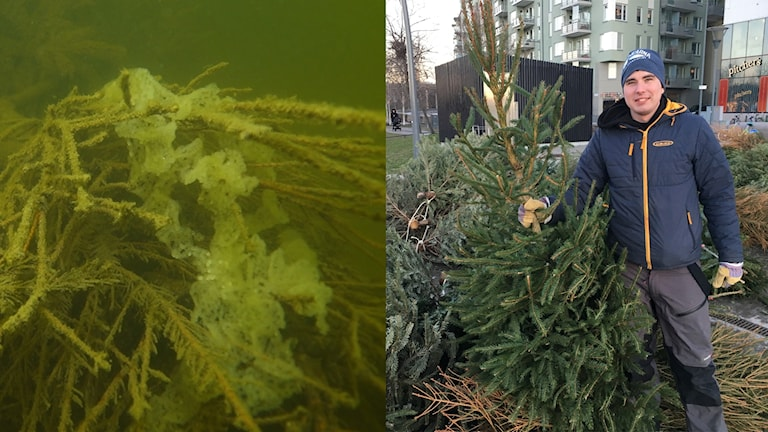 Split picture: of fishspawn on a pine tree under water and a picture of a man holding a christmas tree among many other trees on the ground.