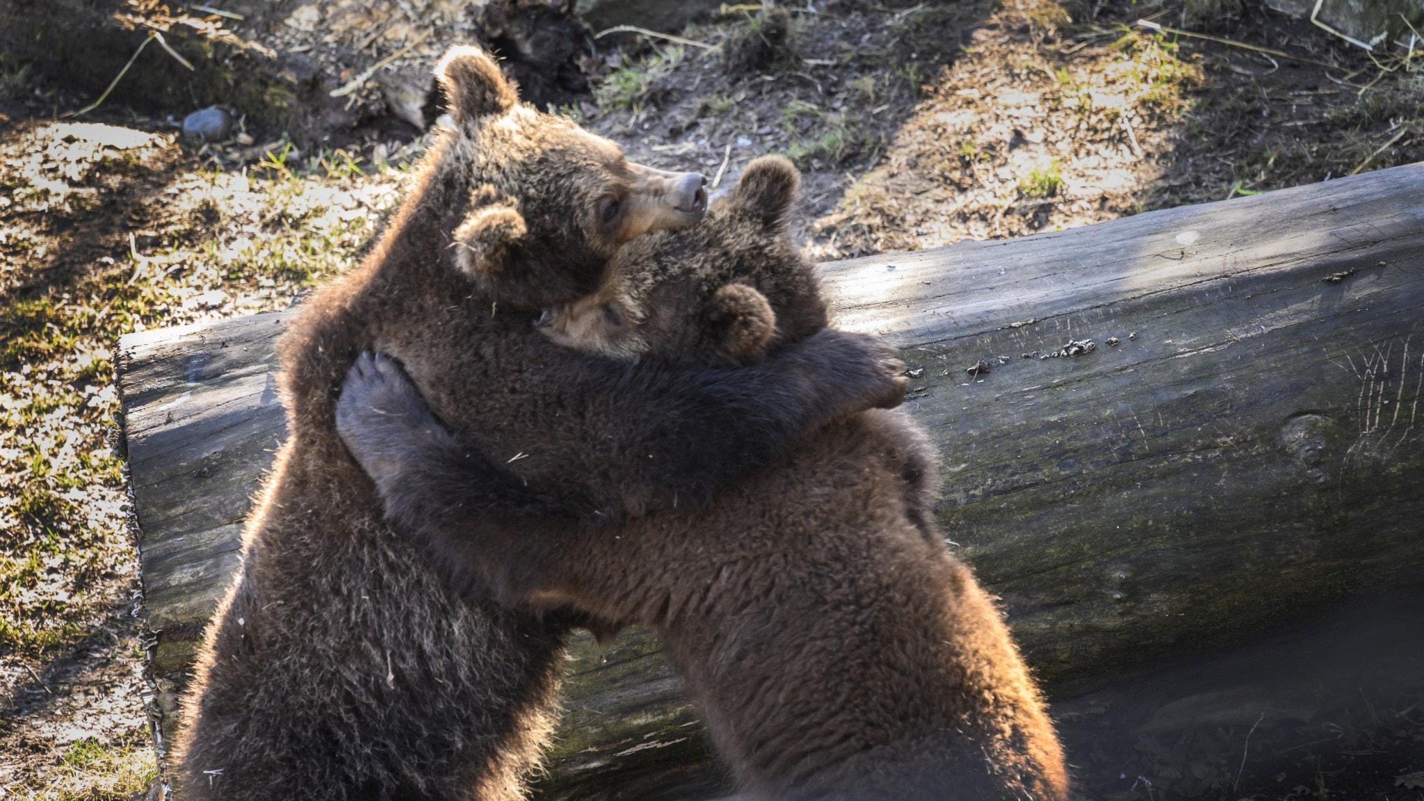 Two bears hugging outside.