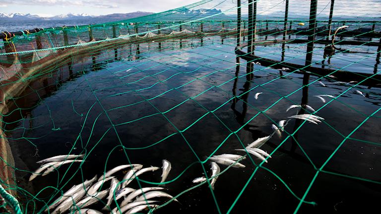 Dead farmed salmon inside a pen.