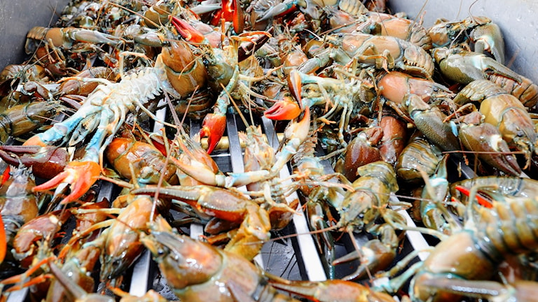 A file photo of legally caught crayfish from Lake Vättern in 2010.