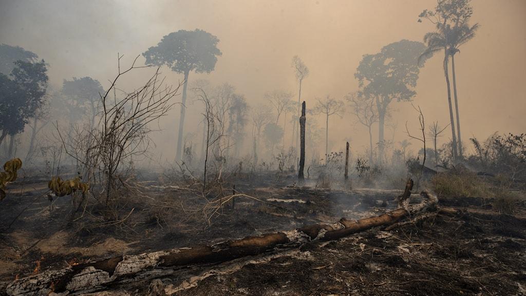 Nedbränd regnskog i Brasilien.