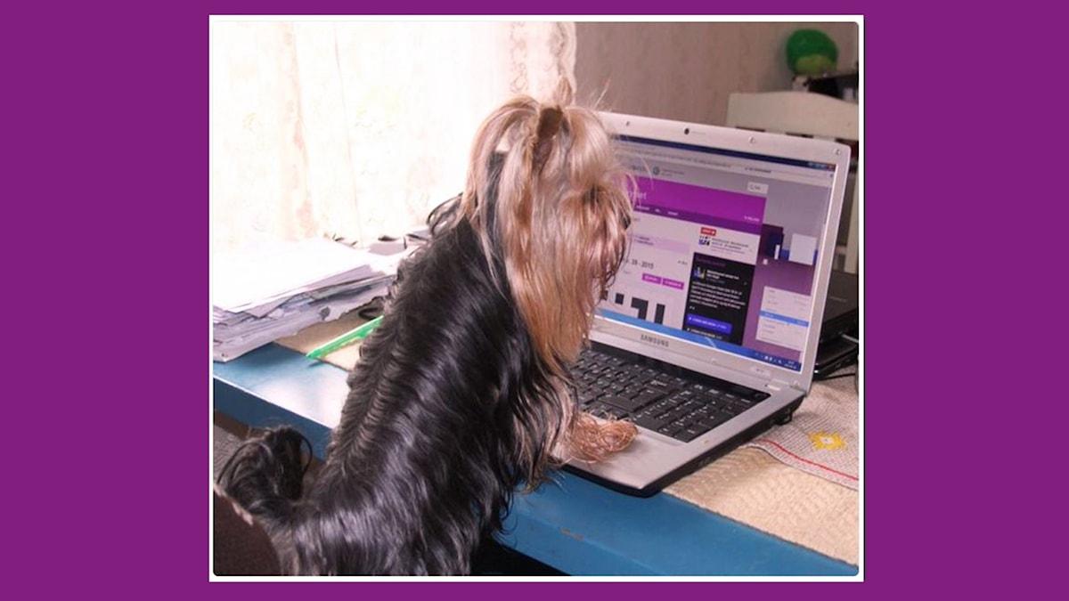 Veckans lyssnarkryssarbild kommer från Celia Sager som har en flitig hjälpreda där hemma ... På bilden ser man Celias lilla hund stående med framtassarna lutade mot en bärbar dator.