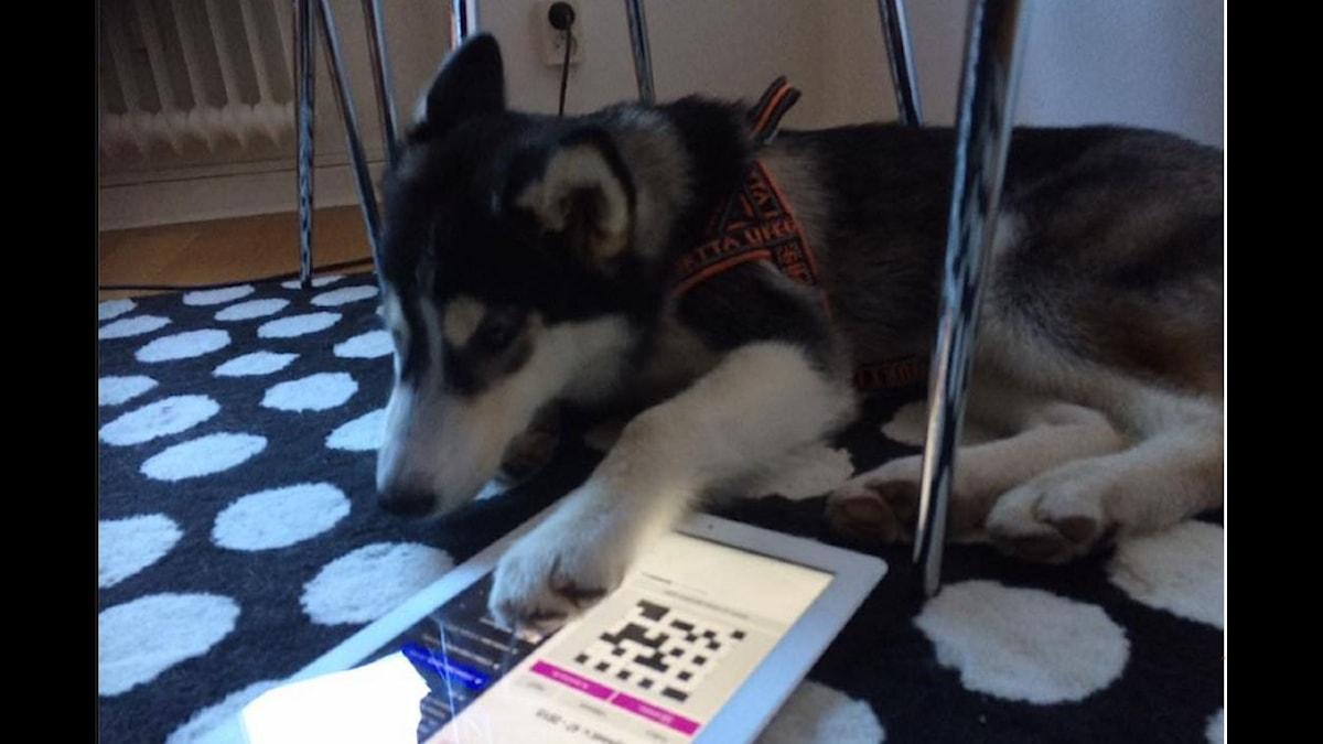 Siberian Huskyn Shaggydog löser Melodikrysset. Foto: Michael Bergqvist / Privat
