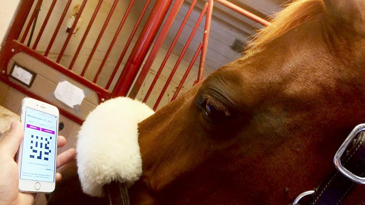 Melodikrysset vecka 27 - 9 juli. Närbild på en häst i ett stall och en hand som håller i en smart telefon där kryssplanen för melodikrysset syns i bild.